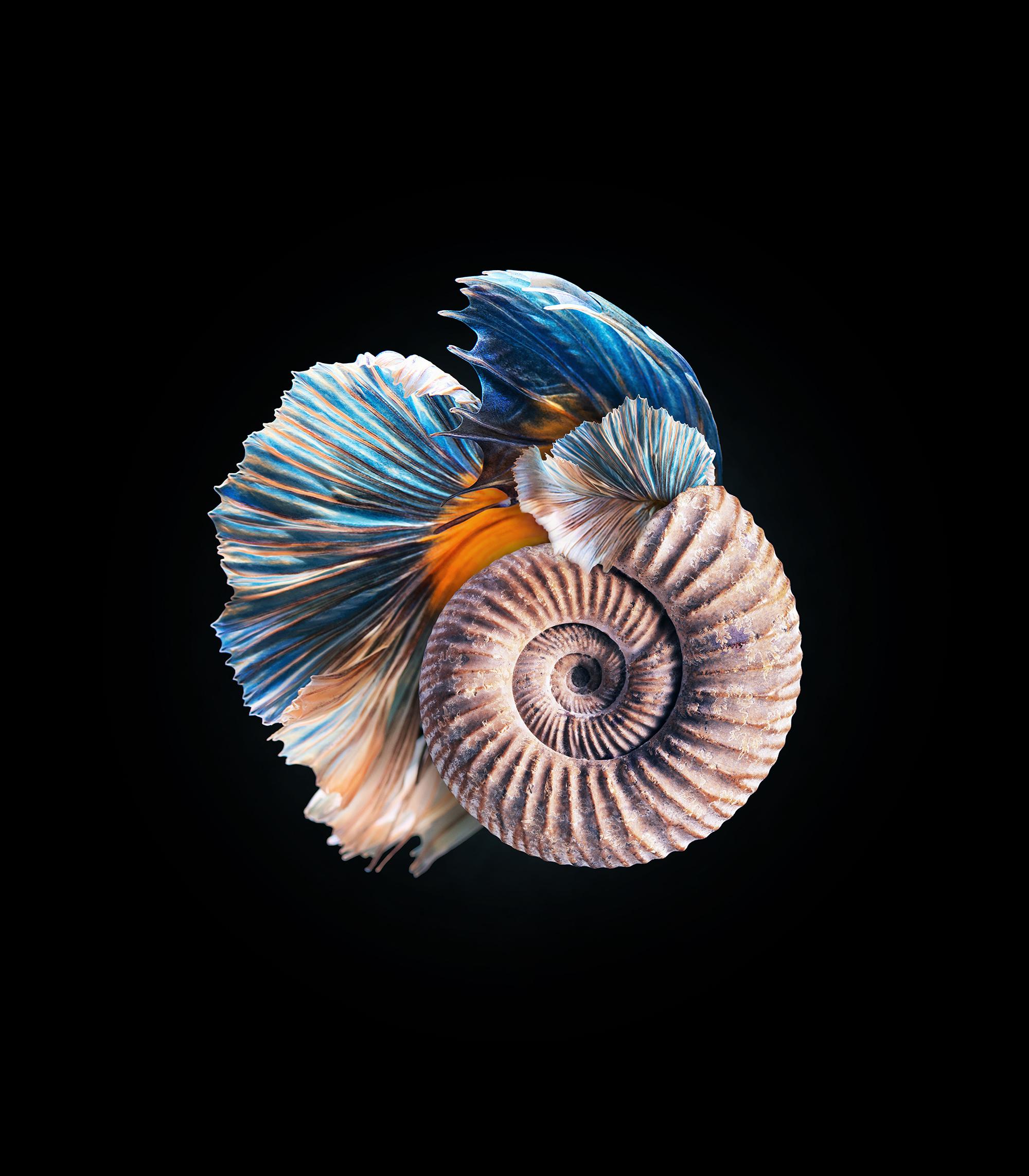 Mandatum_ammonite